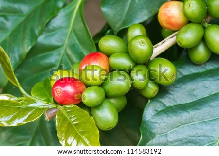 Coffee tree with ripe and raw berries on the branch - stock photo
