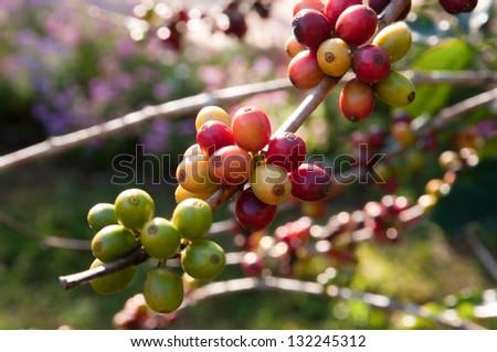 Coffee tree with ripe berries on farm - stock photo
