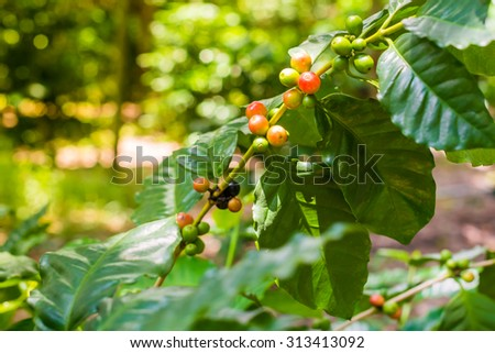Coffee tree with ripe berries on farm, Bali island - stock photo