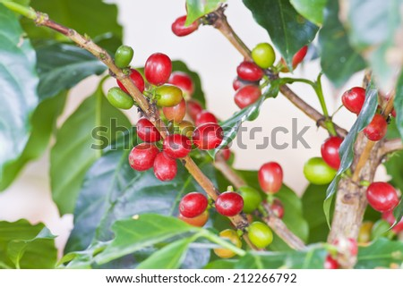 Coffee tree with ripe - Coffee beans on trees  - stock photo