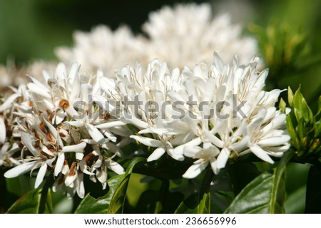Coffee tree with white coffee flower on cafe plantation, cafe is main plant at basalt soil like Bao Loc, Lam Dong, Viet Nam, and coffee is Vietnam agriculture product to export - stock photo