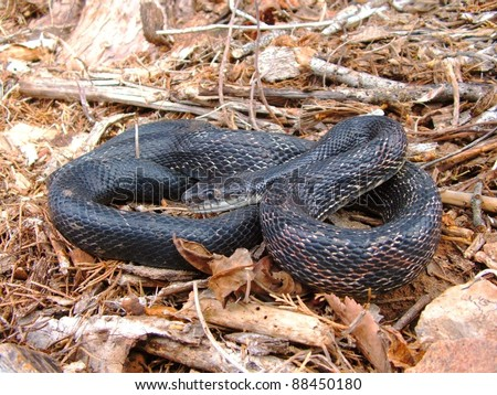 Coiled snake ready to bite - Black Rat Snake, Pantherophis obsoleta - stock photo