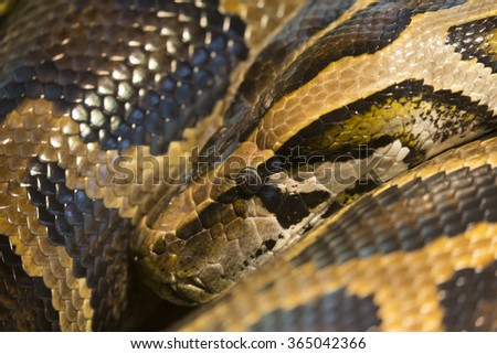 Coiled snake with focus on eye - stock photo