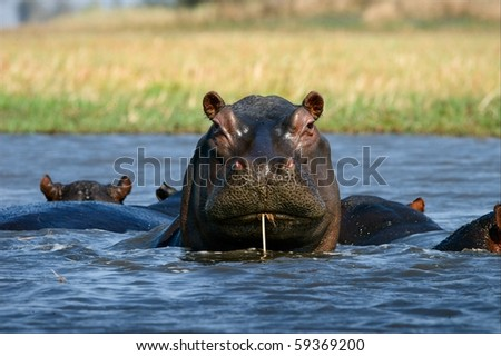 Cokctail through a straw. / The hippopotamus sits in a bog and as though drinks water through a straw. Zambia. Africa.