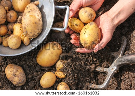 Colander and bar spade with fresh potatoes - stock photo