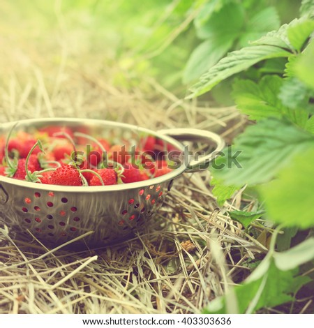 Colander of wild strawberries on bushes background in garden, selective focus, toned
