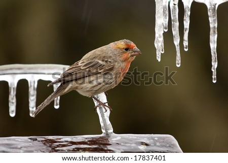 Cold Finch - stock photo