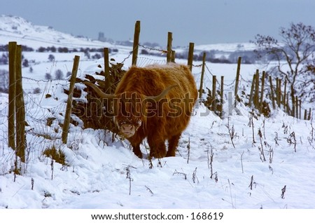 Cold highland hooves - stock photo