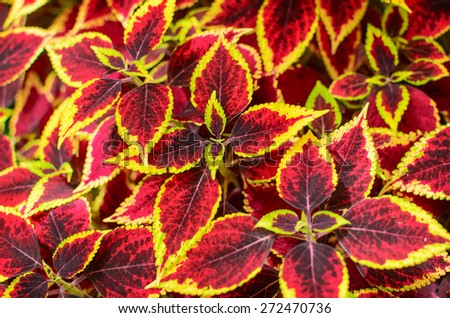 Coleus or Painted Nettle background.  Also called Solar Sunrise in the Wellington Botanic Garden, New Zealand. - stock photo