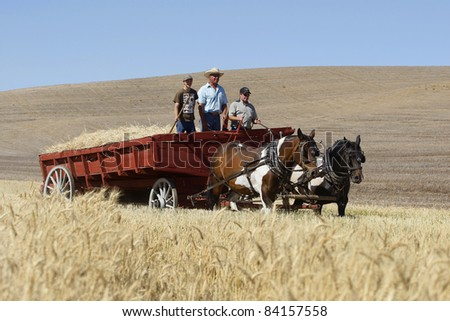 COLFAX, WASHINGTON - SEPT 5: A driver drives a wagon load of hay at the threshing bee on September 5, 2011. The threshing bee is an old fashioned harvest using horses and mules.