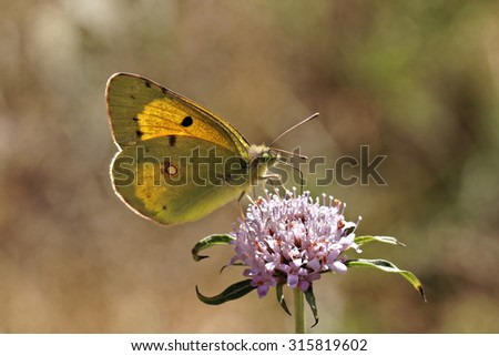 Colias crocea, Dark Clouded Yellow, Common Clouded Yellow butterrfly from Europe - stock photo