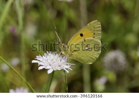 Colias crocea, Dark Clouded Yellow, Common Clouded Yellow, european butterfly from Corsica, France - stock photo