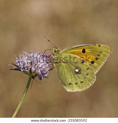 Colias crocea, Dark Clouded Yellow, Common Clouded Yellow, The Clouded Yellow, european butterfly from France - stock photo