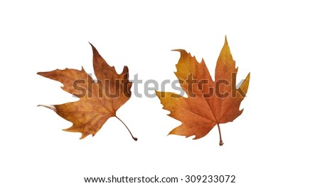 collage Autumn maple leaves isolated on white background - stock photo