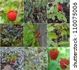 collage from wild berries. Empetrum,  raspberry, bilberry, blueberry, strawberry, dogrose, cowberry, red currant, black currant; - stock photo