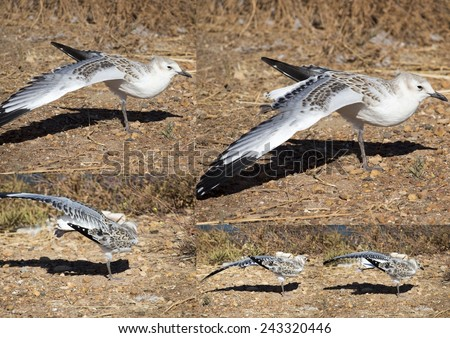 Collage of a beautiful seagull   seabird of family Laridae in sub-order Lari  young  brown speckled chick   standing on the bare ground on a hot summer afternoon stretching its wing. - stock photo