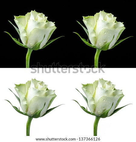 Collage of a white rose isolated on white and black, with and without dew - stock photo