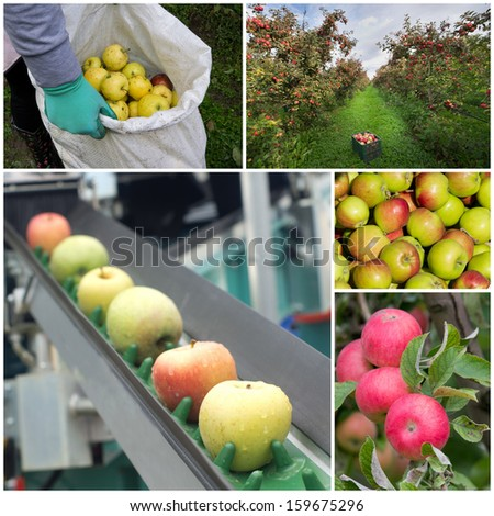 Collage of apple harvesting process - stock photo