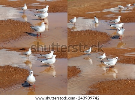 Collage of   beautiful seagulls  seabirds of the family Laridae in the sub-order Lari  reflected in the muddy   puddle are  enjoying a cool sip of water  in the parking area  on a winter afternoon.  - stock photo
