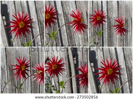 Collage of bright red spider dahlia  flowers growing against a wooden fence , a genus of bushy, tuberous, herbaceous perennial plants  in autumn  bloom    is  a  magnificent addition to any   garden.  - stock photo