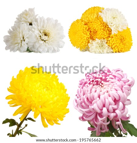 Collage of chrysanthemums flowers isolated on white - stock photo