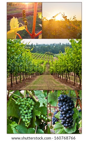 Collage of grape development from bud to mature clusters. Collage of grapes in vineyard - stock photo