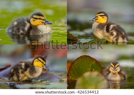 Collage of little duckling images (Longer side of one image is 3200 pixels) - stock photo
