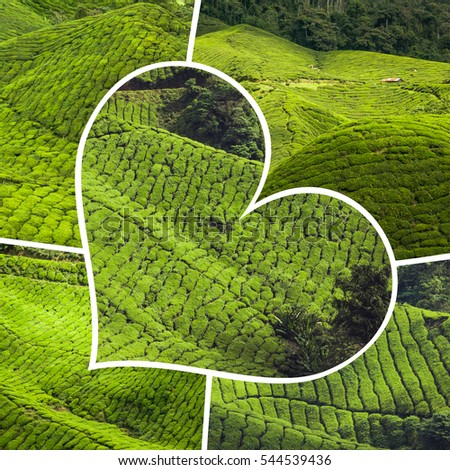 Collage of Malaysia,tea plantation in Cameron highlands