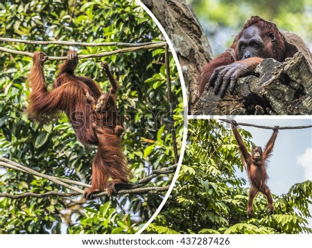 Collage of Orangutan - travel background (my photos) - stock photo