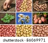 collage of potatoes growing and harvested - stock photo