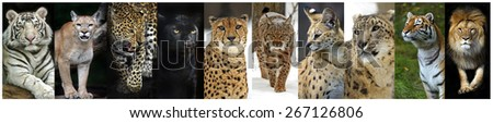 Collage of predatory cats in the wild - stock photo