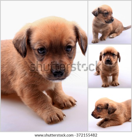 Collage of small cute dachshund puppy. Selective focus - stock photo