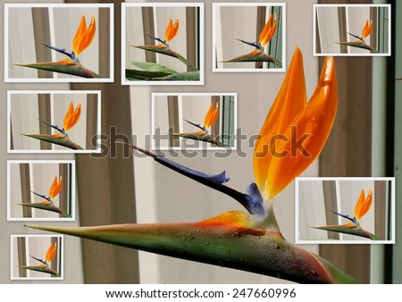 Collage of Strelitzia reginae Strelitzia, Crane Flower or Bird of Paradise,  a monocotyledonous flowering plant indigenous to South Africa in bloom in spring is a decorative and ornamental delight. - stock photo