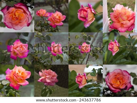 Collage of stunningly  magnificent romantic beautiful carmine and   yellow  rose blooming in early autumn adds fragrant charm to the garden scape after the long hot summer. - stock photo