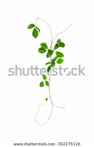 Collage of vine leaves on white isolate background,vine with clipping path,vine content,Branch of vine leaves isolated,Collage of vine leaves on white background,vine isolated,vine leaves,vine flame - stock photo