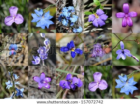 Collage of West Australian rare purple and blue wildflowers   - purple enamel orchids, dampiera,   leschenaultia in  the Crooked Brook national park near Dardanup  western Australia in early spring. - stock photo