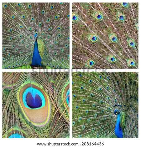 "Collage ""Peacock"" - stock photo"
