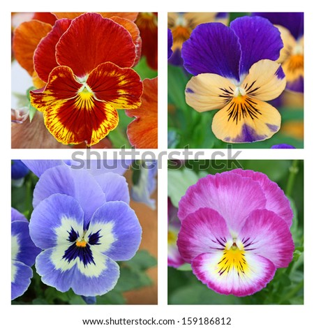 Collage with 4 pansy flowers (2) - stock photo