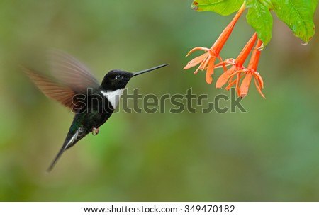 Collared Inca, Coeligena torquata, dark green black and white hummingbird flying next to beautiful orange flower, Colombia - stock photo