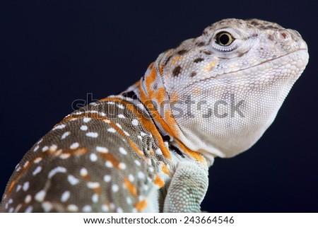 Collared lizard / Crotaphytus collaris - stock photo