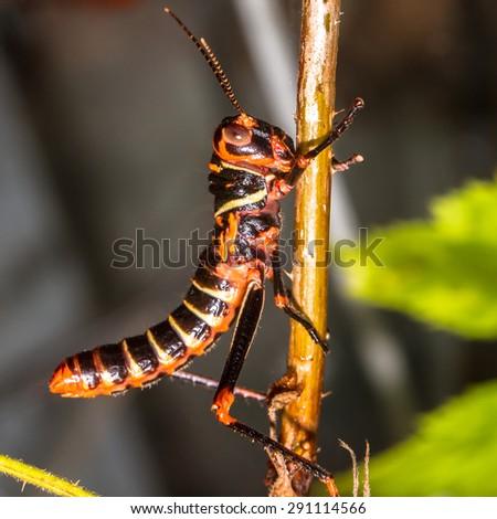 Collared lubber Grasshopper closeup - stock photo