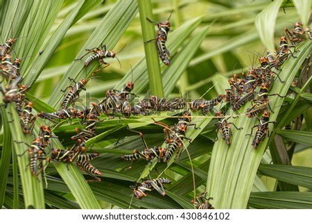 Collared Lubber Grasshoppers on palm leaves - stock photo