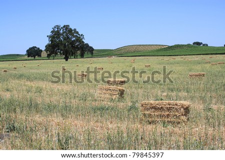 Collected hay on a field. - stock photo