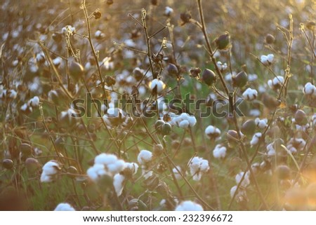 collecting cotton from field at sunset  - stock photo