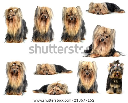 collection animal yorkshire terrier isolated on white - stock photo
