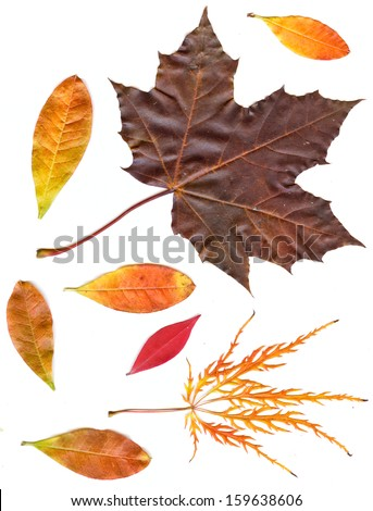 collection beautiful colorful autumn leaves isolated on white background.   colorful common Fall leaves - stock photo