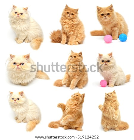 Collection beautiful kitten isolated on white background. Persian cat.