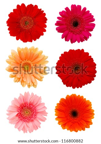 Collection daisy flowers isolated on white background