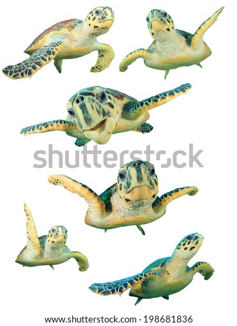 Collection Hawksbill Sea Turtles isolated on white background. - stock photo