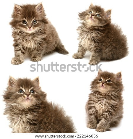 Collection of a beautiful persian cat isolated on white background - stock photo